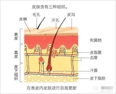 从皮肤基本结构分析,红血丝是如何形成的